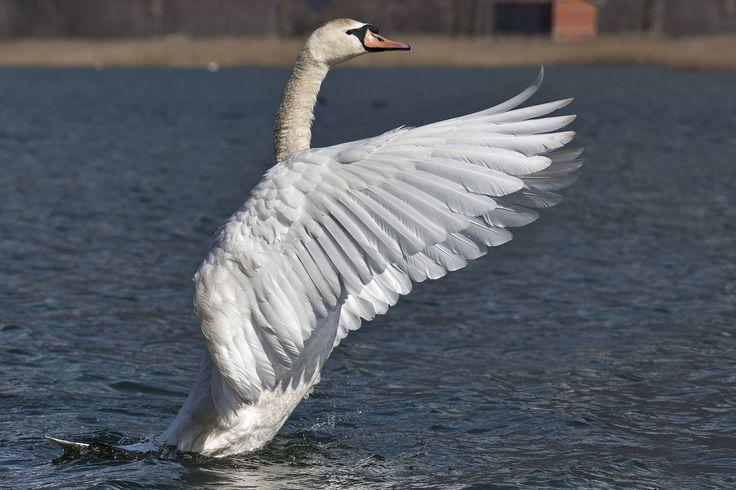Cigno imponente - Cigno imponente scuote le sue ali prima di adagiarsi nuovamente in acqua.