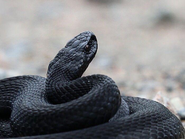 Täysin musta kyy, jonka silmätkin olivat kuin tummat peilit. Black (melanistic) snake