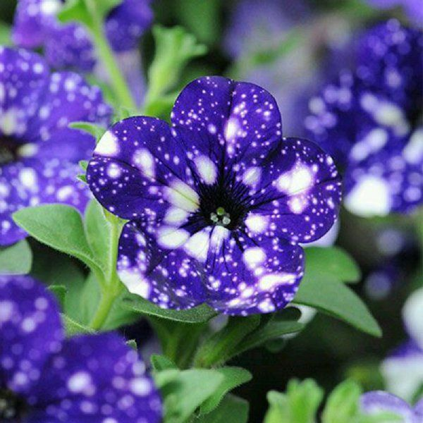 Headliner Night Sky Petunia Plant Growjoy Com Petunia Flower