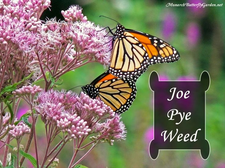 Spotted Joe Pye Weed Is A Late Season Nectar Source That Attracts Monarchs,  Swallowtails,