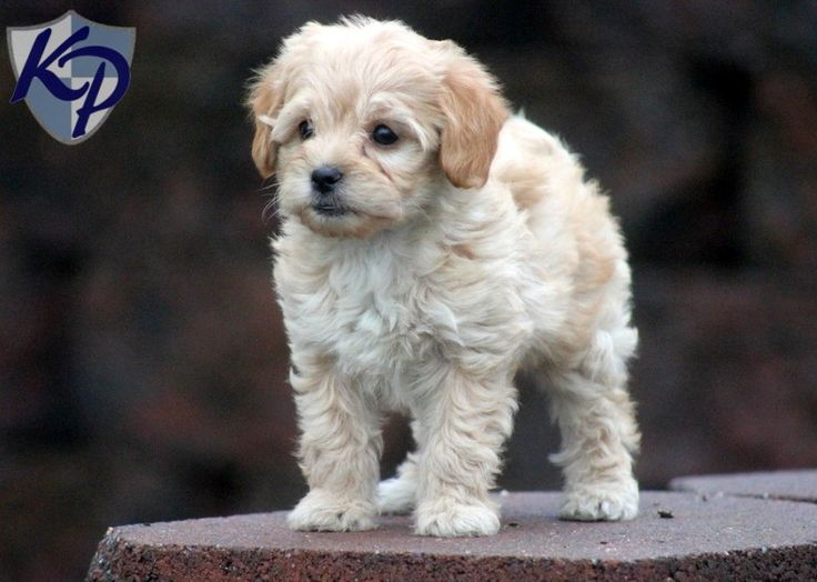 Havapoo Puppies for Sale in PA   Keystone Puppies
