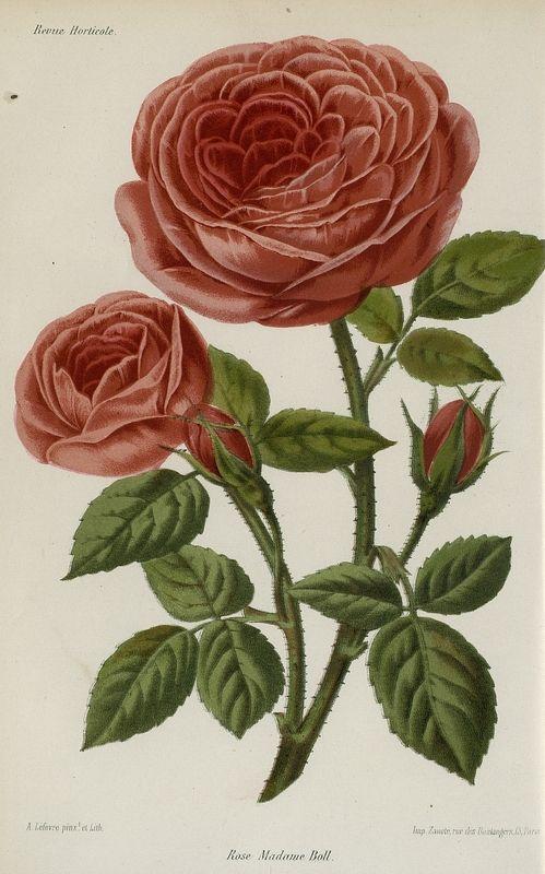 SNHF | Rose Madame Boll