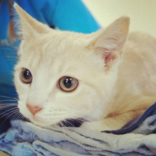 Siamese Cat Adoption Okc