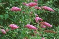Arbres et arbustes - Buddléia davidii 'Pink Delight'