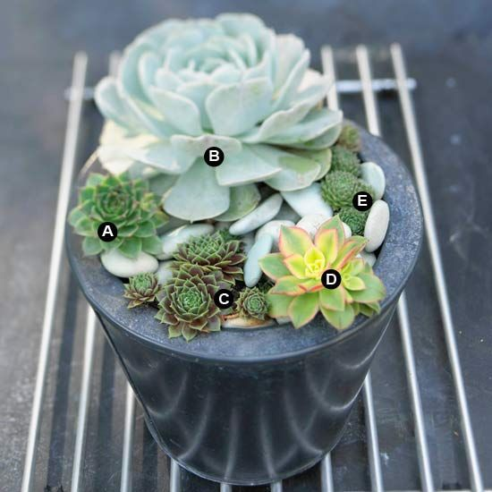 Drought tolerant succulent container garden plans aeonium kiwi hens and succulent containers - How to make a succulent container garden ...