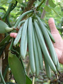 VANILLE is een smaakstof afkomstig uit de vruchten van de klimorchidee van het geslacht Vanilla. De vruchten van de plant worden onrijp geplukt en vochtig verhit, daarna langzaam gedroogd, waardoor een fermentatieproces optreedt. Hierdoor verandert de onrijpe niet-aromatische vrucht in een zwart en glimmend vanillestokje met een fijne geur en smaak. Het stokje wordt over de lengte doorgesneden zodat het merg eruit geschraapt en gebruikt kan worden.