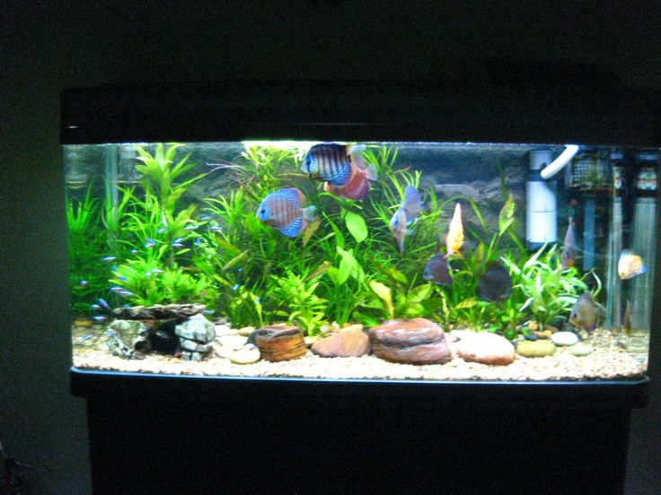 Traquil discuss and neon tetra tank docile fish w for Aquarium decoration online