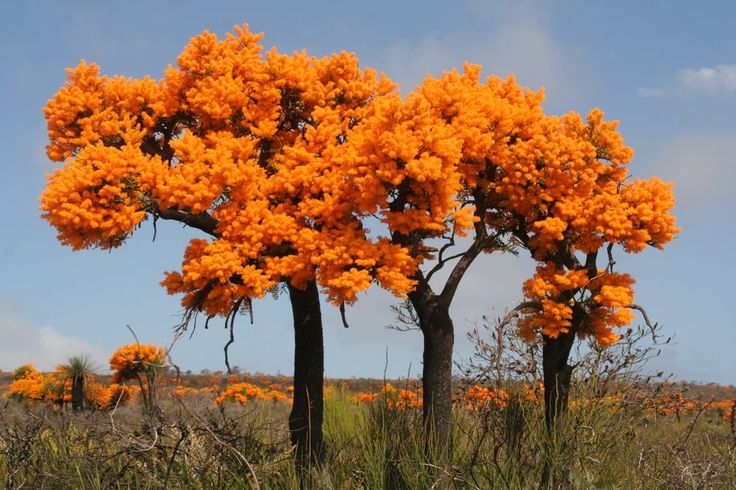 Christmas Tree (Nuytsia floribunda) at Cape Le Grand National Park, western Australia - This tree flowers every year at Christmas, this is why it got its name. ..followtheroad.com