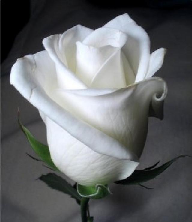 Descubre el significado del COLOR de las rosas   Curiosidades