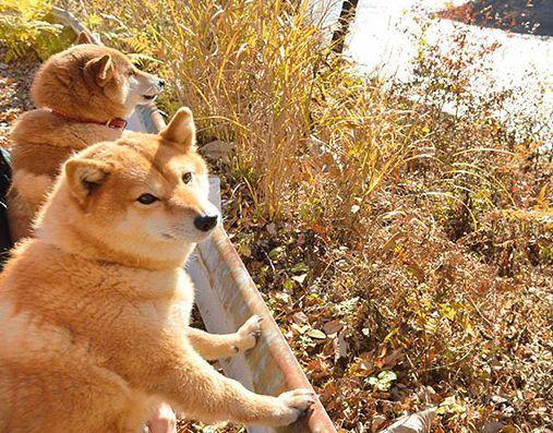 仲良しの柴犬2匹 湖のパトロールなど古民家食堂の看板