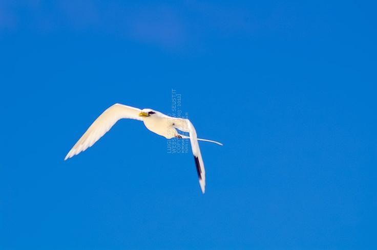 Uccello in volo (Seychelles 2007)