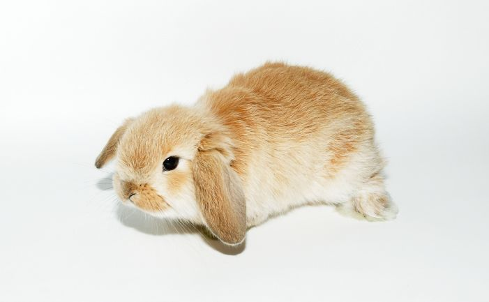 Dwarf Lop and Mini Lop Rabbit - Dwarf lops and Mini lops are very similar in appearance, size being the only real difference between the two.