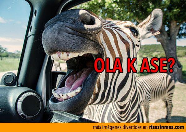 Cebra gritando, Ola K Ase