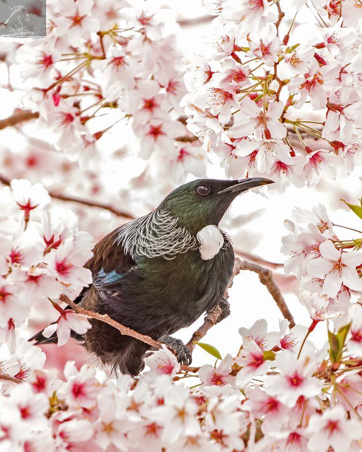 Tui 35 - A Tui peeks out of a cherry blossom, NZ…