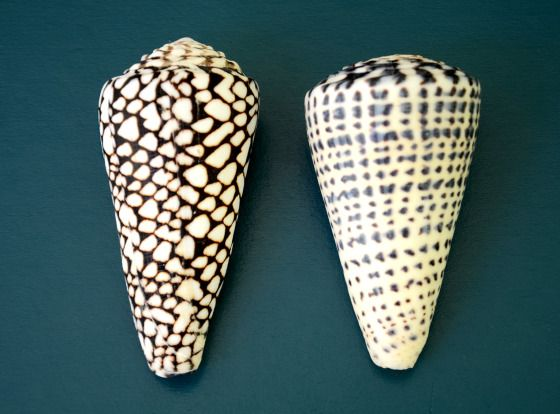 Himba women wear only 2 types of cone shell :  marbled cone or  leopard cone . The patterning on these two cones are almost opposites.  The marbled cone  ( conus marmoreous ) is about the most striking of all shells, black in colour covered with uniformly sized white tents. It is predatory, living on other molluscs and inhabits the coral reefs. Leopard cone ( conus leopardus ) is uniformly banded, with evenly sized and spaced black spots.   These snails are highly venomous.