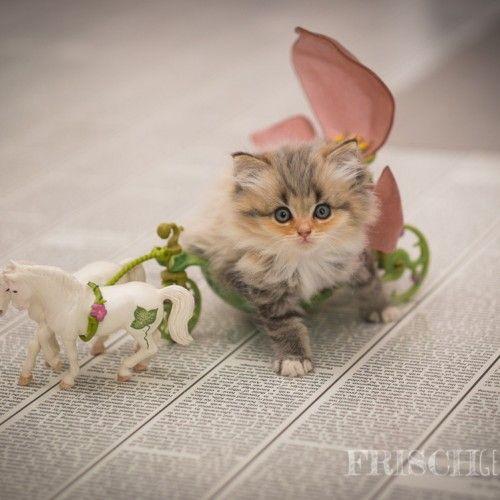 Norwegische Wald - Katzen Prinzessin Mary steigt aus ihrer Feen - Kutsche von Schleich.