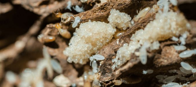 If you worry that you might have an infestation, you might ask yourself, what do baby termites look like? Learn more about the termite life cycle, termite swarming season, interesting facts about termites and how to get rid of termites.