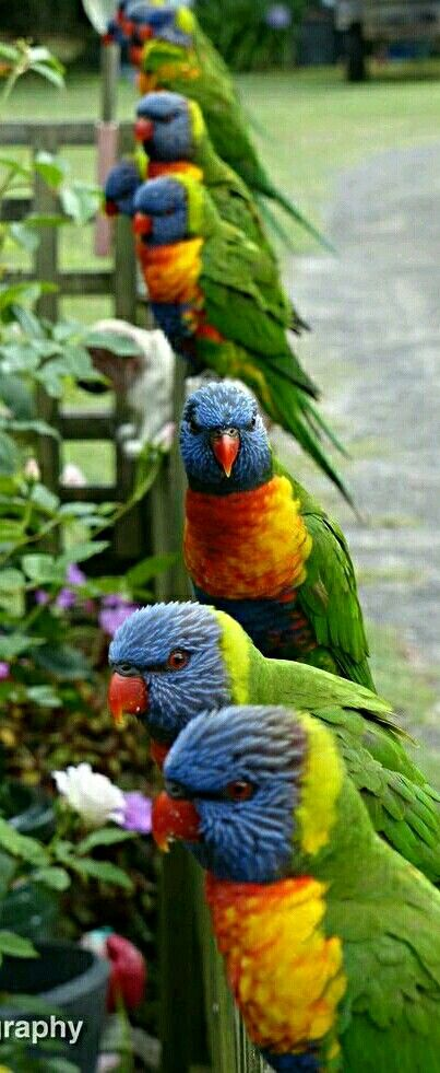 Colorful birds - Australian Lorikeets - by Oz Photography