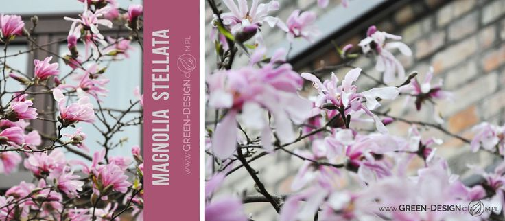 Magnolia stellata by Green Design Landscape Architecture, Poland www.green-design-blog.com.pl