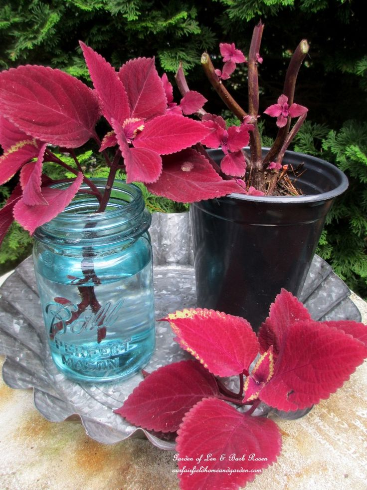Save Money! Take cuttings of annuals to start new plants for next year's garden! (Garden of Len & Barb Rosen)