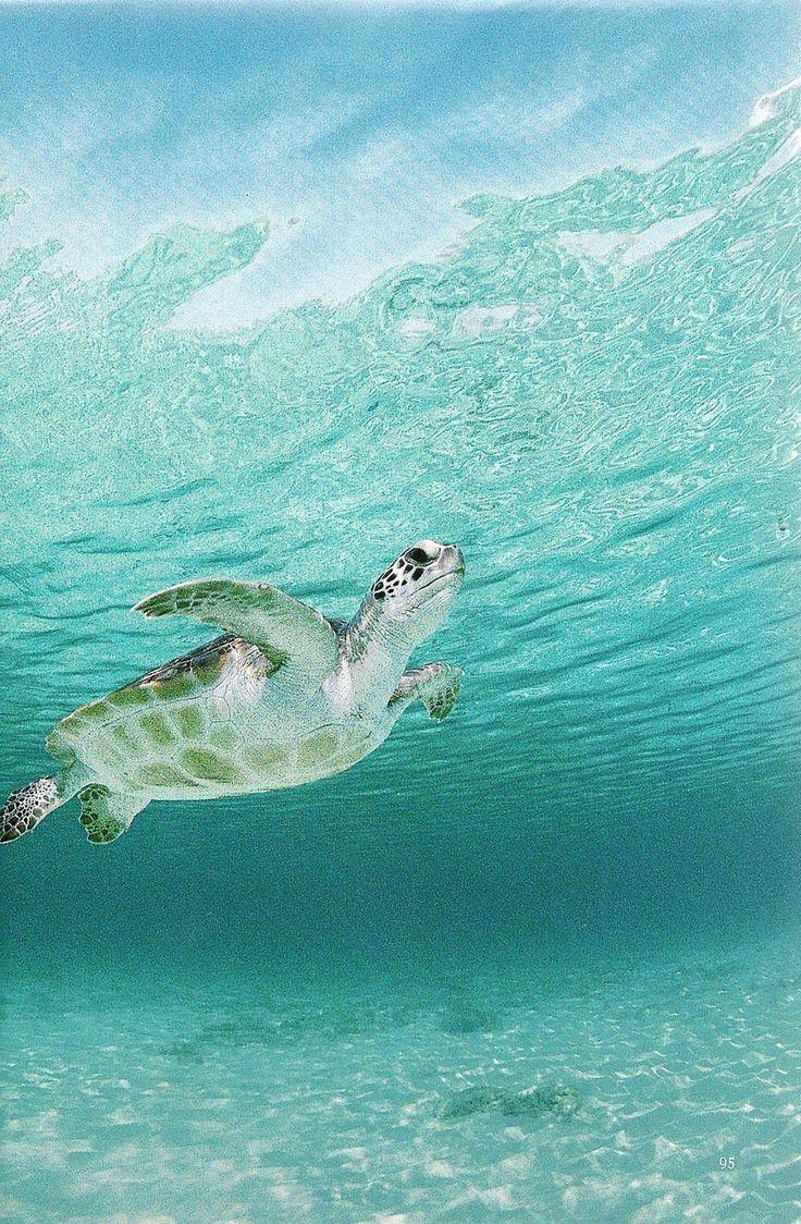 Green Sea Turtle haunts a Caribbean shoal  National Geographic | February 1994
