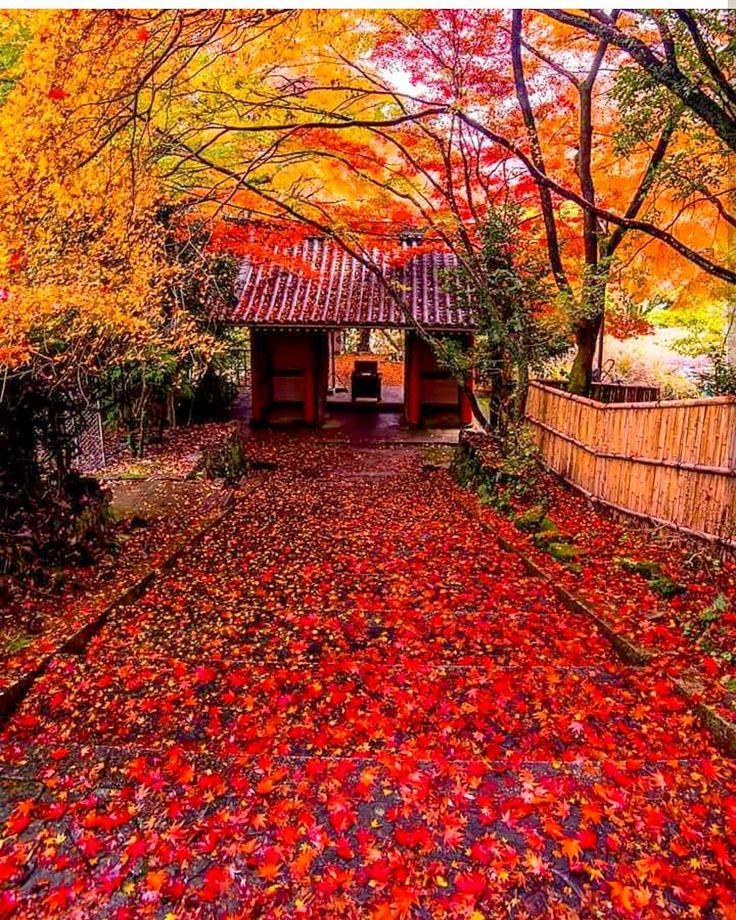 京都 金蔵寺 奈良時代創建の天台宗のお寺。 応仁の乱で焼け、徳川綱吉公のお母様の桂昌院さんにより再建されました。 紅葉の名所としても人気です。 東山に比べると、人も少ないのですが、ここまでの(山の)一歩道は、車ですれ違うのもやっとの感じです。健脚で歩いて登って来られるご年配の方を見かけます 📷2016年11月 雨上がりの朝の参道は、レッドカーペット✨✨✨ 濡れた鮮やかな葉っぱをなるべく踏まないように・・・そして、カメラ持っている時は特に、滑らない気をつけないと・・・といつも思います(ღˇᴗˇ)。o♡ Konzo-ji Temple in Kyoto This shot was taken last November. This temple was founded in the Nara Period(the 8th Century). Burned in battle of Onin, the temple buildings were rebuilt in the 17th century by Keishoin, who was the mother of Tok...