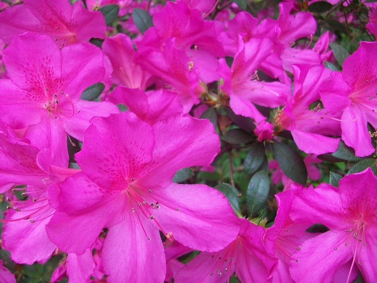 Charleston azaleas: Gardens And Desire, Cypress Gardens And, Unique Gardens