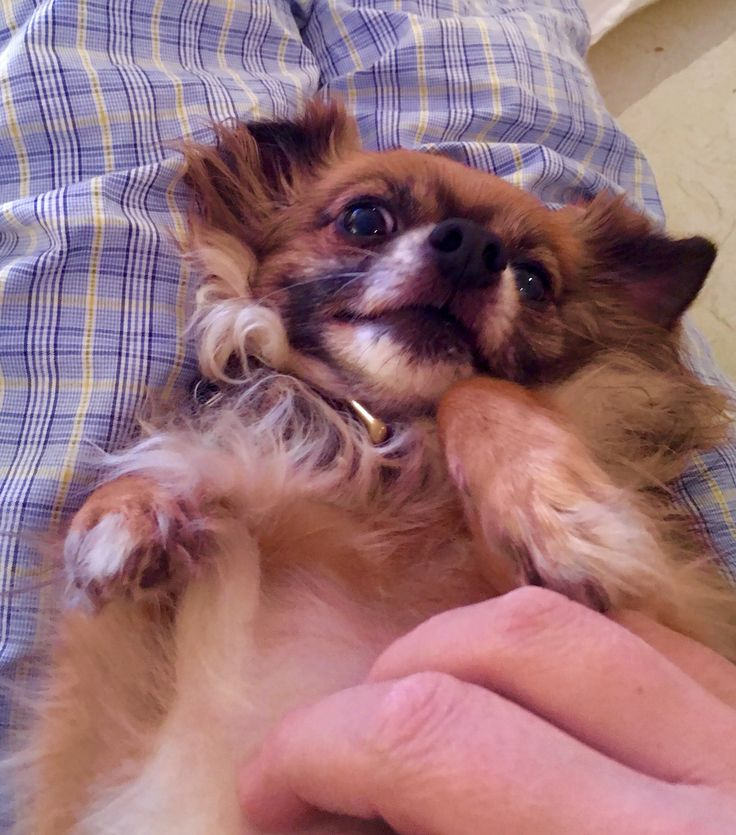 Happy Friday Chihuahua Chihuahuasofinstagram With Images
