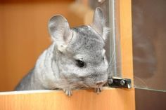 10 Safe and Unsafe Foods for Chinchillas | Pets & Pets Care - Part 10