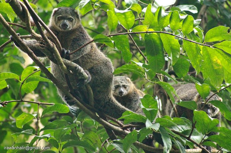 Kus Kus at Tangkoko Nature Reserve