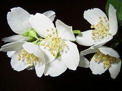 Virág, Jázmin, Bush, Fehér, Aroma