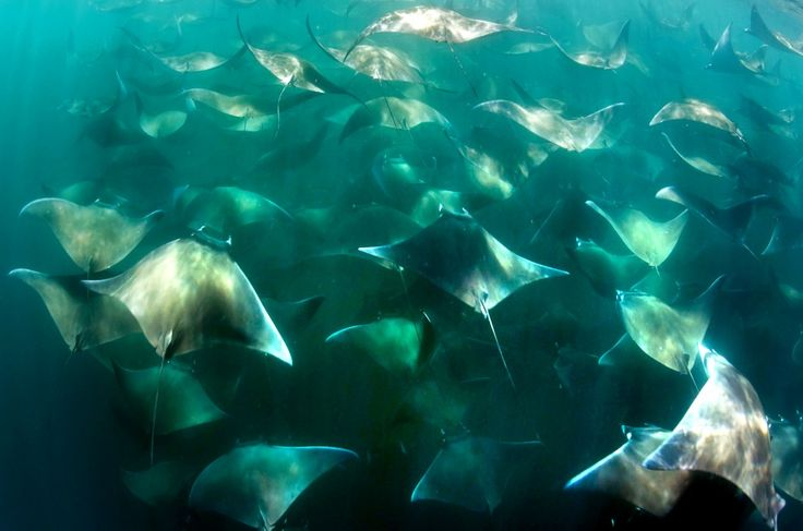 An epic migration of module stingrays. Photo by Joost van Uffelen/Caters News