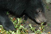 Asian black bear feeding on berries.  Scrotifera is a proposed clade of mammals within Laurasiatheria, consisting of the following six orders and their common ancestors: Artiodactyla, Even-toed ungulate, https://en.wikipedia.org/wiki/Even-toed_ungulate Carnivora, https://en.wikipedia.org/wiki/Carnivora Cetacea, https://en.wikipedia.org/wiki/Cetacea Chiroptera, Bat https://en.wikipedia.org/wiki/Bat Perissodactyla, Odd-toed ungulate, https://en.wikipedia.org/wiki/Odd-toed_ungulate Pholidota…