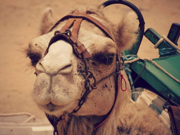 #Photography #Close #Up #Camel #Spain