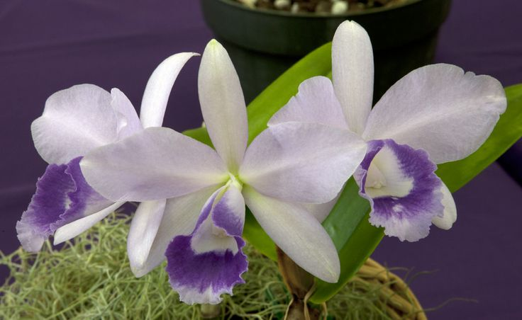 Inter-generic Orchid-hybrid Lc: LaelioCattleya Blue Angel 'Glove' ; by DonCrain