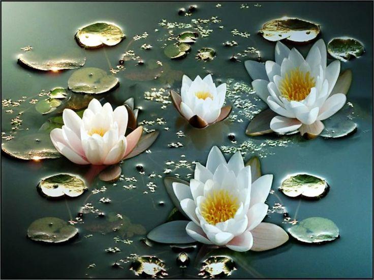 Gambar Bunga Teratai Putih Yang Cantik