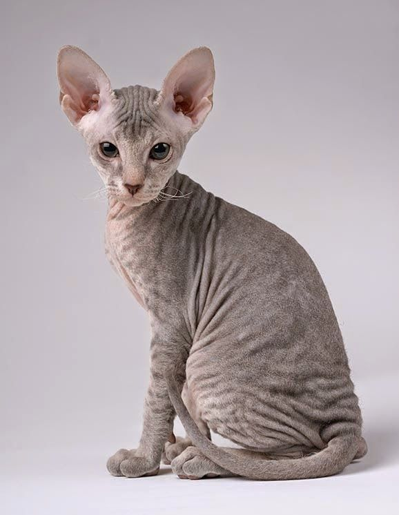 Super 238 best Sphynx images on Pinterest | Hairless cats, Sphynx cat  ZC28