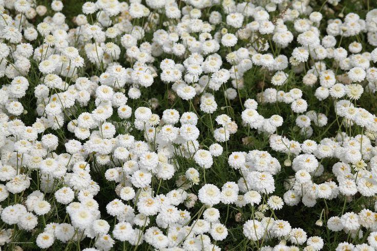 Chamaemelum nobile 'Flore Pleno' –roomse kamille (asteraceae) bloeit wit 5-7 kan .20-.30 hoog worden, zaait zich uit. Prima snijbloem, als bodembedekker is aromatisch. De bloemen kunnen gedroogd worden en dan als kalmerende thee gedronken worden ( slapeloosheid, maagpijn of bij spijsverteringsproblemen)