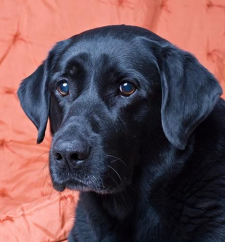 Absolutely Beautiful ~ Black Lab