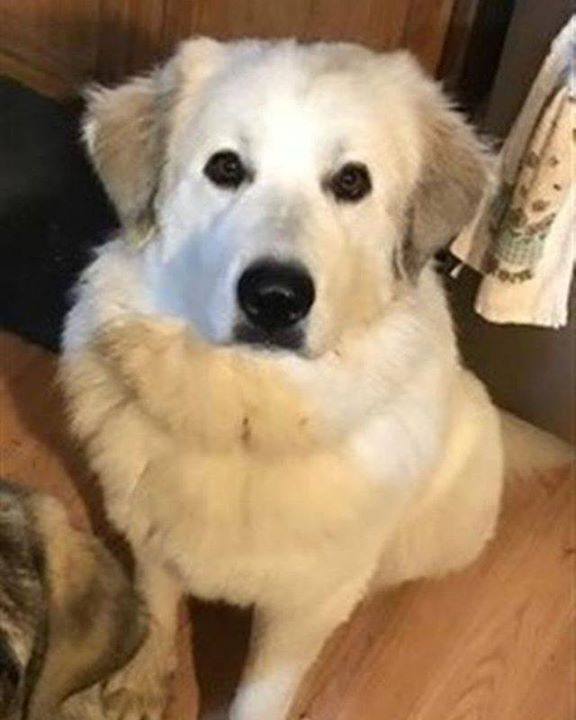 Lost Dog Kimball Great Pyrenees Female Date Lost 03 17 2019