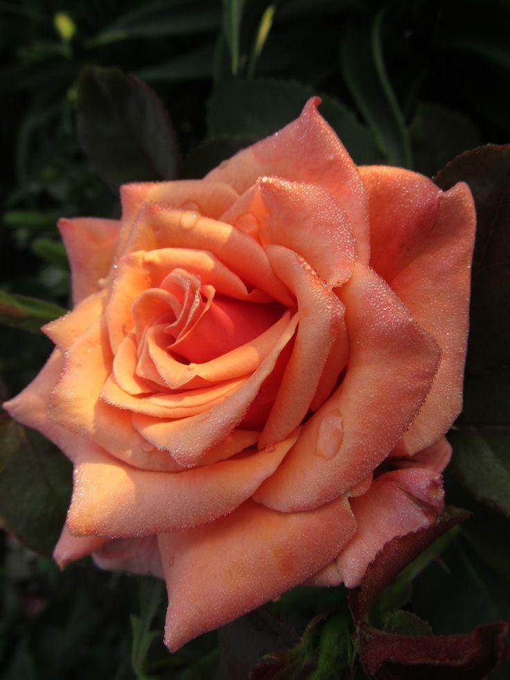 Simple Rose Garden: 57 Best Images About Roses - Orange On Pinterest