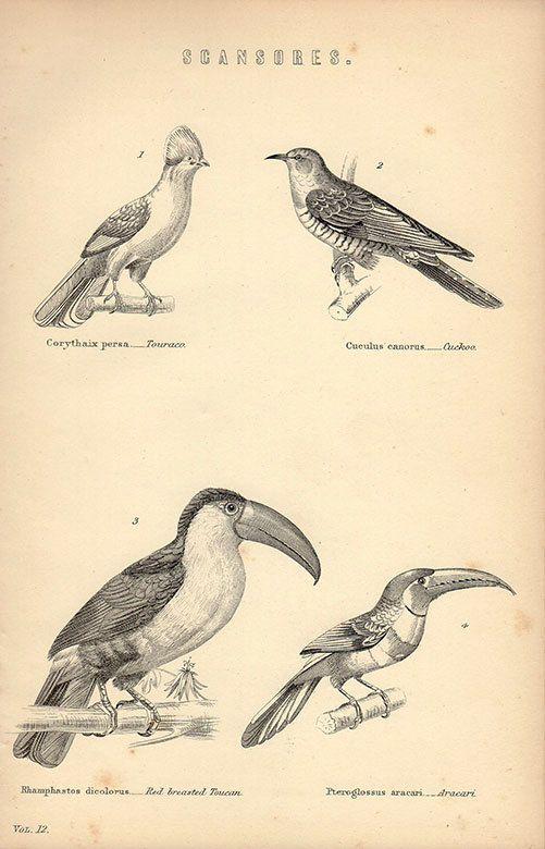 Stampa antica, grandi uccelli grafico 12 bella parete arte colore vintage Litografia illustrazione delle piume piume uccelli uccello