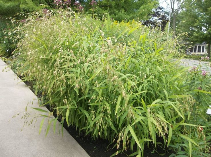18 best images about cultivar choices ornamental grasses for Fast growing decorative grass