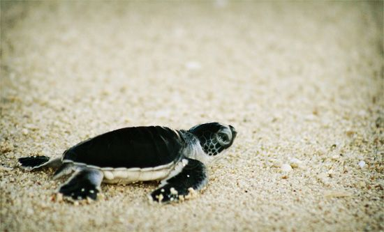 The turtles of Nosy Iranja are reason enough to visit this tropical paradise... | Madagascar