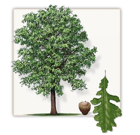 Bur Oak Tree | Mature Height: 50' - 60' | Fall Color: Red, Yellow, Brown | Growth Rate: 1.5' - 2.5' Per Year  #trees #landscaping #gardening