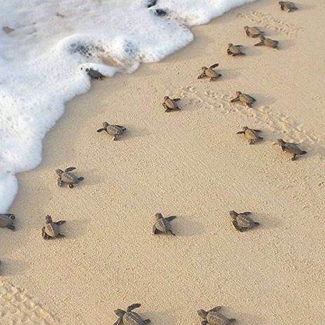How cute is this?! Baby turtles going into the sea #turtles #sea #caboverde #capeverde #kaapverdië