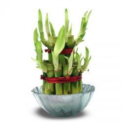 Bamboo is considered as the luckiest plant in the Asian culture.  Surprise your loved one with this Good Luck Bamboo !!!  http://livinggifts.co.in/good-luck-plant-2-layer