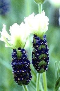 lavender stoechas 'TIARA'- a french lavender