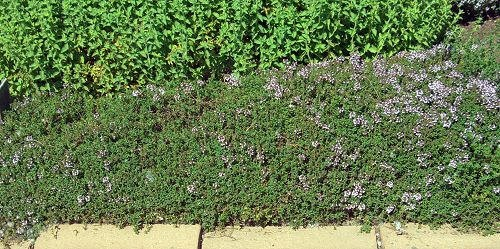Caraway Thyme is the only ground cover thyme that is culinary.