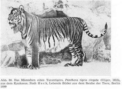 6. Caspian Tiger: the third largest (extinct since 1970) (EX)